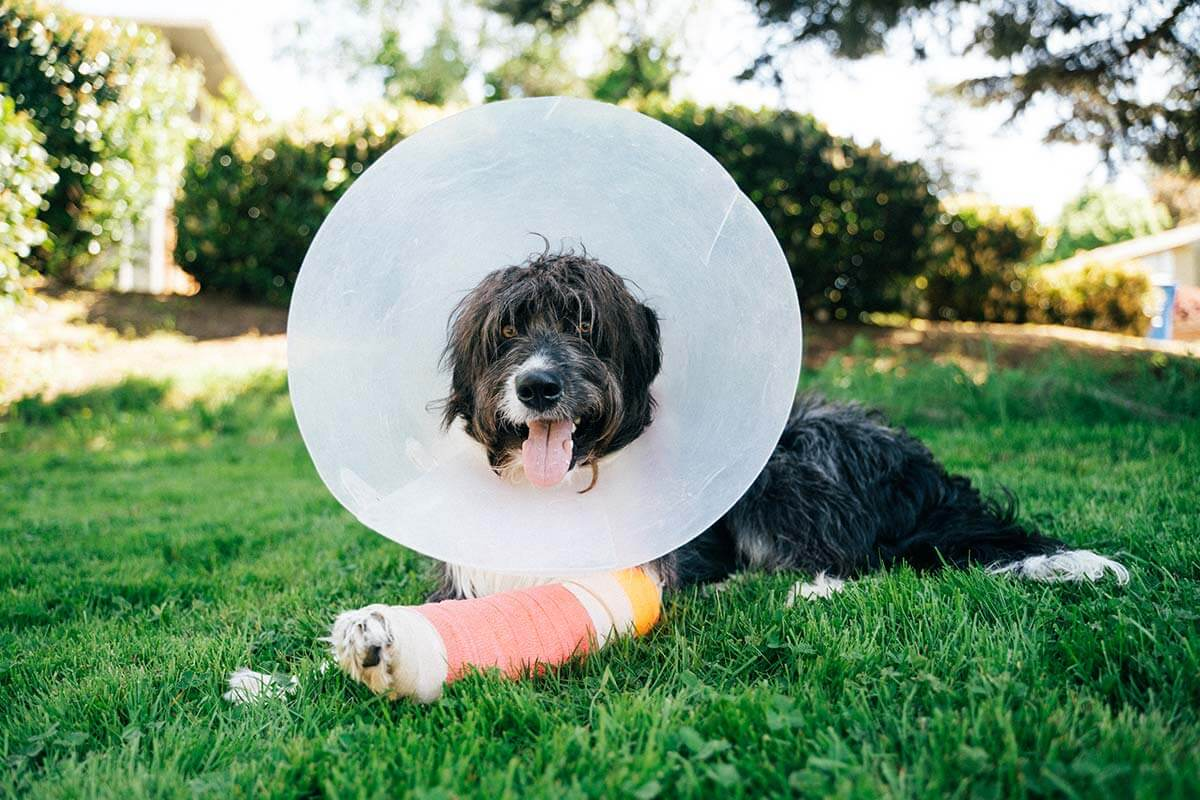 pet wearing a cone